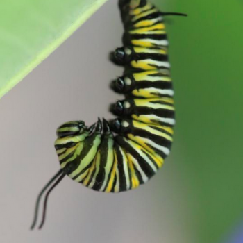 Caterpillar hanging under leaf
