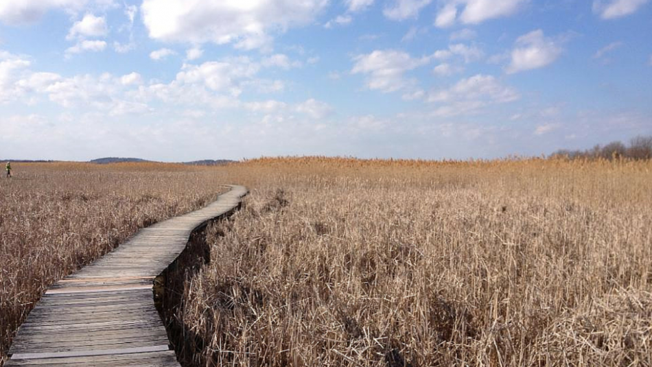 Wooden walkway through marsh reeds with blue sky and white clouds