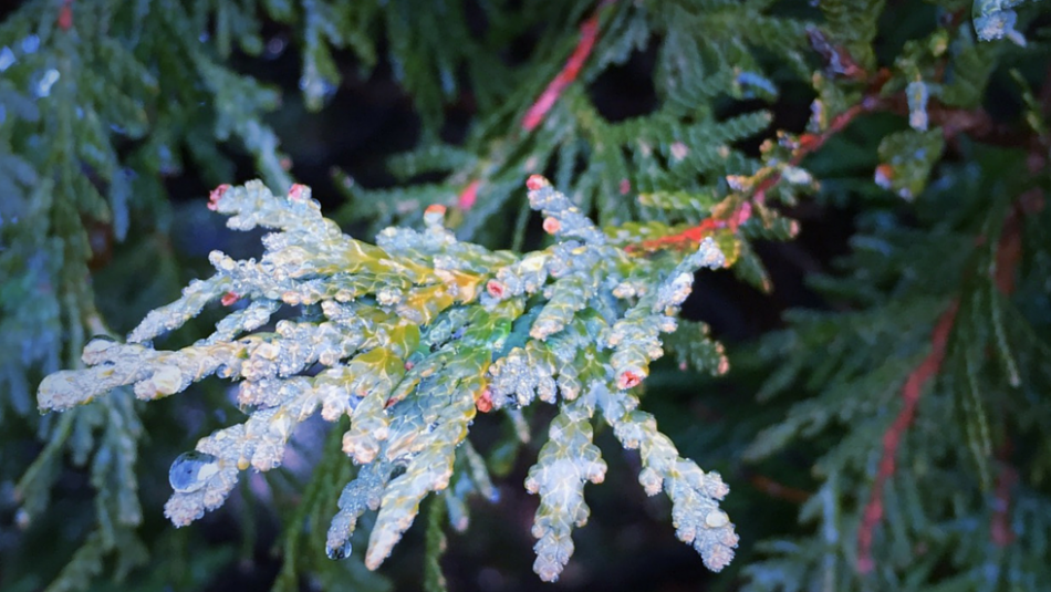 Ice and frost on conifer branch