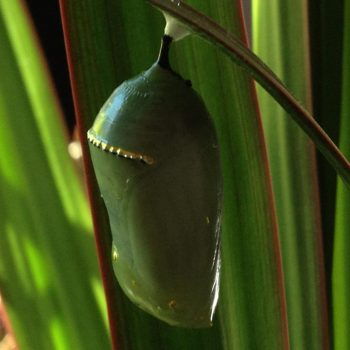 Close up of butterfly chrysalis
