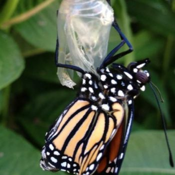 Baby butterfly coming out of chrysalis 2