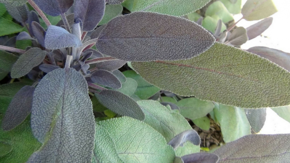 Sage plant used on Blog Page
